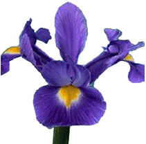 Iris - Purple - 50 Stems