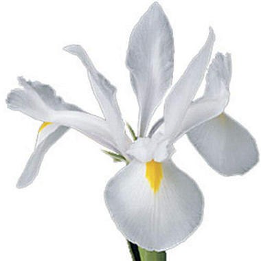 Iris - White - 50 Stems