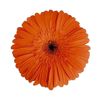 Gerbera Daisies - Orange - 70 Stems