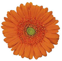 Gerbera Daisies - Orange- 70 Stems