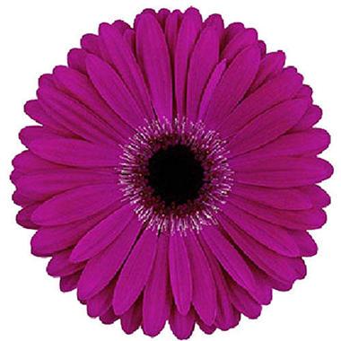 Gerbera Daisies - Purple - 70 Stems