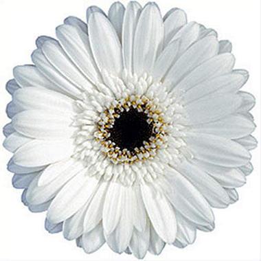 Gerbera Daisies - White - 70 Stems