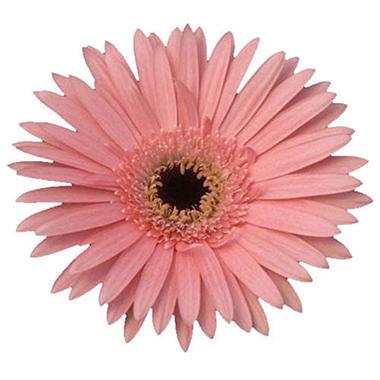 Gerbera Daisies - Pink - 70 Stems