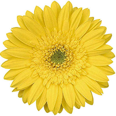 Gerbera Daisies - Yellow - 70 Stems