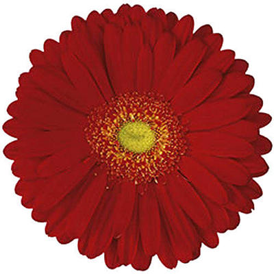 Gerbera Daisies - Red - 100 Stems