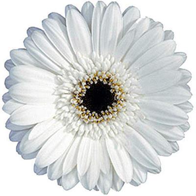 Gerbera Daisies - White - 100 Stems