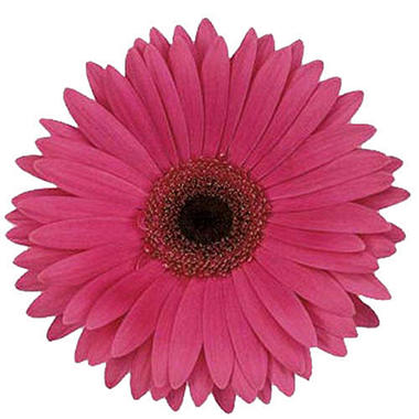 Gerbera Daisies - Fuchsia - 100 Stems