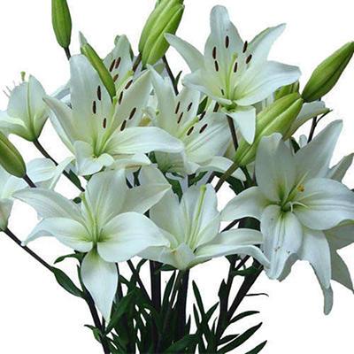 Asiatic (LA) Lilies - White - 40 Stems