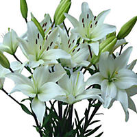 Asiatic (LA) Lilies - White - 40 Stems