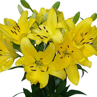 Asiatic (LA) Lilies - Yellow (Choose 40 or 80 Stems)