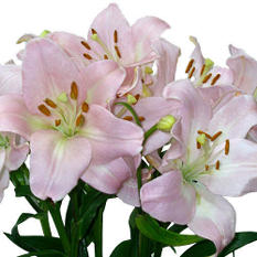 Asiatic (LA) Lilies -  Pink - 40 Stems
