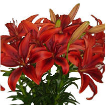 Asiatic (LA) Lilies - Black Out  - 40 Stems