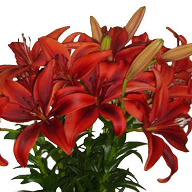 Asiatic (LA) Lilies - Black Out  (40 stems)