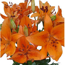Asiatic (LA) Lilies - Orange - 40 Stems
