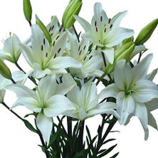Asiatic (LA) Lilies - White - 80 Stems