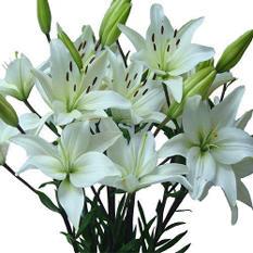 Asiatic (LA) Lilies - White - 80 Stems