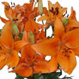 Asiatic (LA) Lilies - Orange - 80 Stems