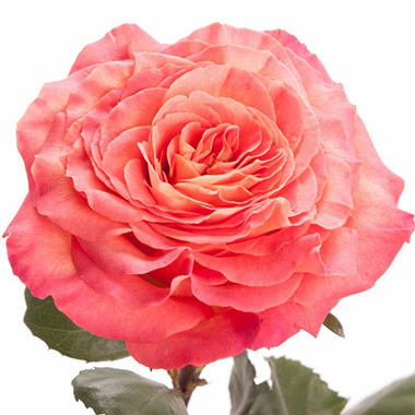 Garden Rose - Sunset  (48 Stems)