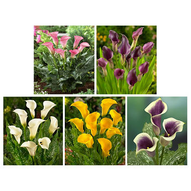 Calla Lily - Assorted - 50 Stems