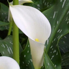 Calla Lily - White - 50 Stems