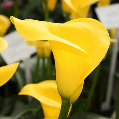 Calla Lily - Yellow - 50 Stems