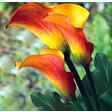 Calla Lily - Flame - 50 Stems