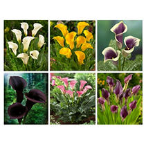Calla Lily - Assorted - 60 Stems