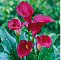 Calla Lily - Red - 60 Stems
