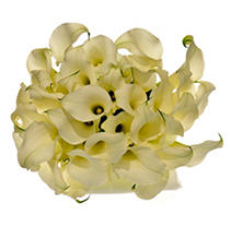 Calla Lily - White - 60 Stems