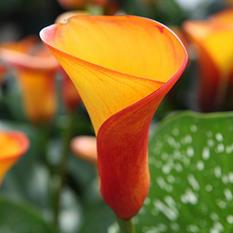 Calla Lily - Mango - 60 Stems