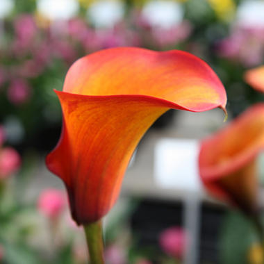 Calla Lily - Flame - 60 Stems