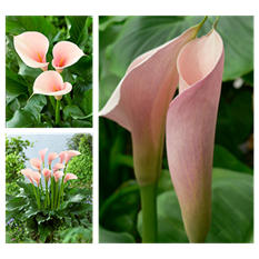 Calla Lily - Pink Flamingo - 15 Stems