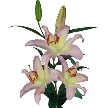 Oriental Lily Pink Mistery  (80 Stems)