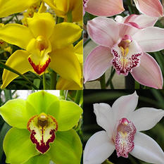 Assorted Cymbidiums (10 Stems)