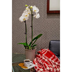 "5"" Phalaenopsis Orchid in Plastic Pot - White"