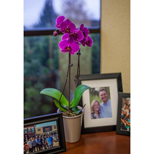 "5"" Phalaenopsis Orchid in Plastic Pot - Purple"