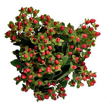 Hypericum - Red - 150 Stems