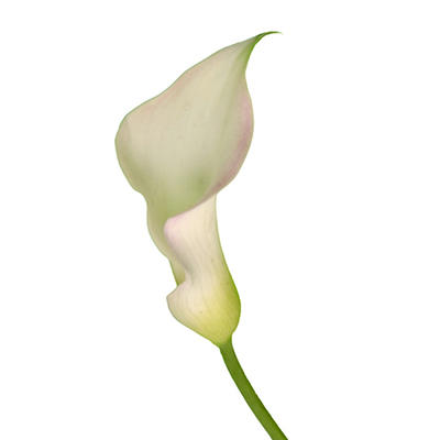 Mini Calla Lily - White - 140 Stems