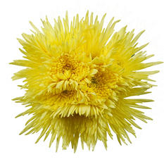 Poms - Yellow - 45 Stems