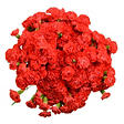 Mini Carnations - Red - 100 Stems