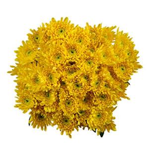 Poms - Yellow Cushion (50 Stems)