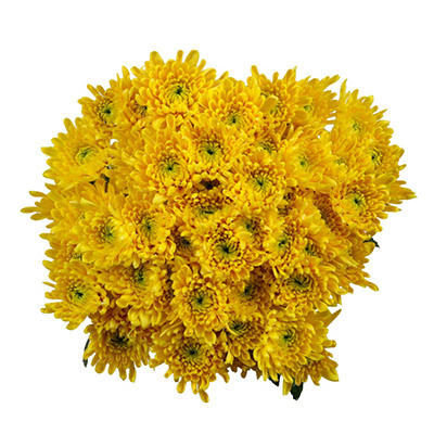 Poms - Yellow Cushion - 50 Stems