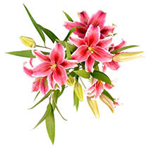Sorbonne Oriental Lily - Medium Pink - 25 Stems