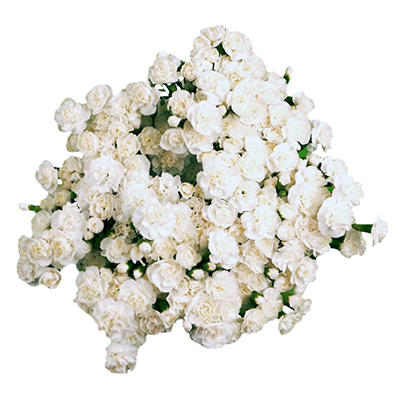Mini Carnations - White - 100 Stems