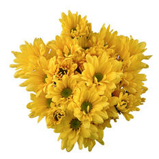 Poms - Yellow Daisy - 50 Stems