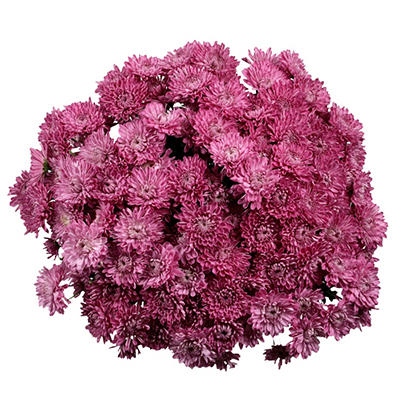 Poms - Lavender Cushion - 50 Stems
