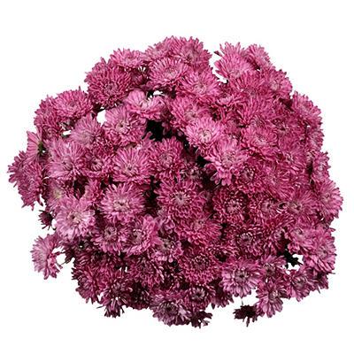 Poms - Lavender Cushion - 50 Stems