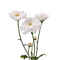 Poms - White Cushion - 50 Stems