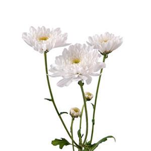 Poms - White Cushion - 50 Stems
