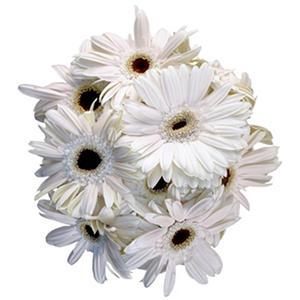 Gerbera Daisies - White - 50 Stems